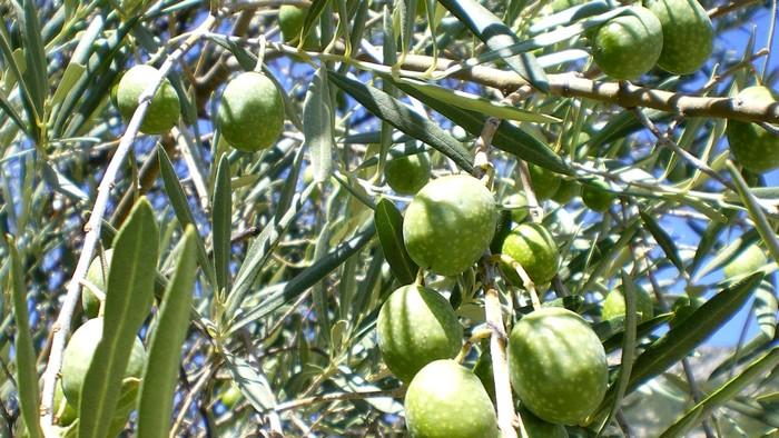 Olives, Vallée de la Buèges - © Photothèque Hérault Tourisme - Eric Brendle